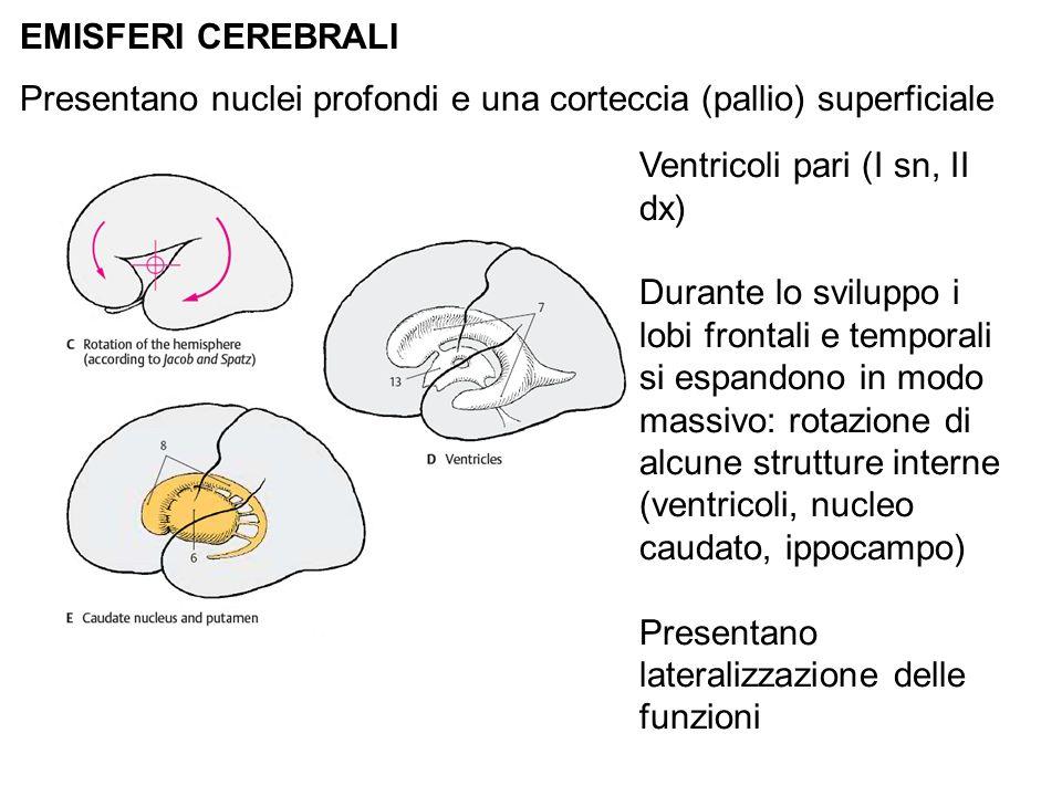 EMISFERI CEREBRALI Presentano nuclei profondi e una corteccia (pallio) superficiale Ventricoli pari (I sn, II dx) Durante lo sviluppo i lobi frontali