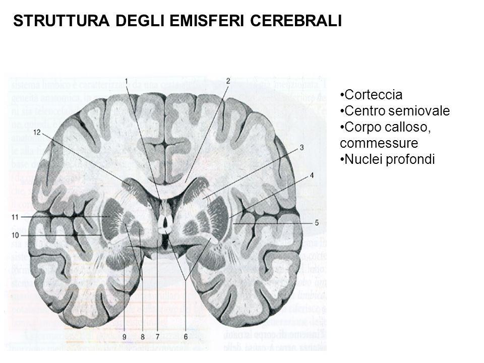 Corteccia Centro semiovale Corpo calloso, commessure Nuclei profondi STRUTTURA DEGLI EMISFERI CEREBRALI