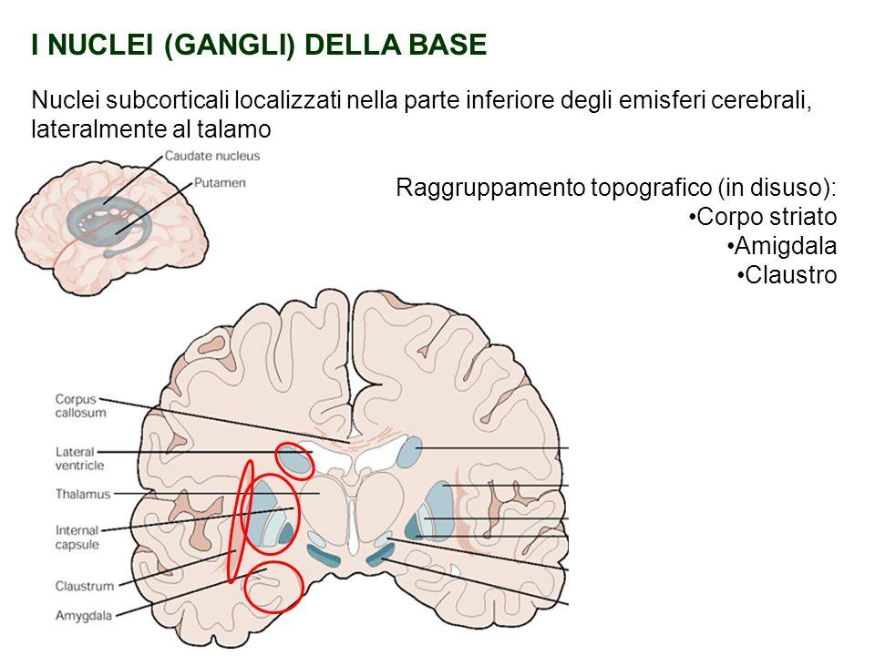 I NUCLEI (GANGLI) DELLA BASE Nuclei subcorticali localizzati nella parte inferiore degli emisferi cerebrali, lateralmente al talamo Raggruppamento top