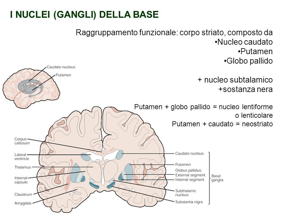 I NUCLEI (GANGLI) DELLA BASE Raggruppamento funzionale: corpo striato, composto da Nucleo caudato Putamen Globo pallido + nucleo subtalamico +sostanza