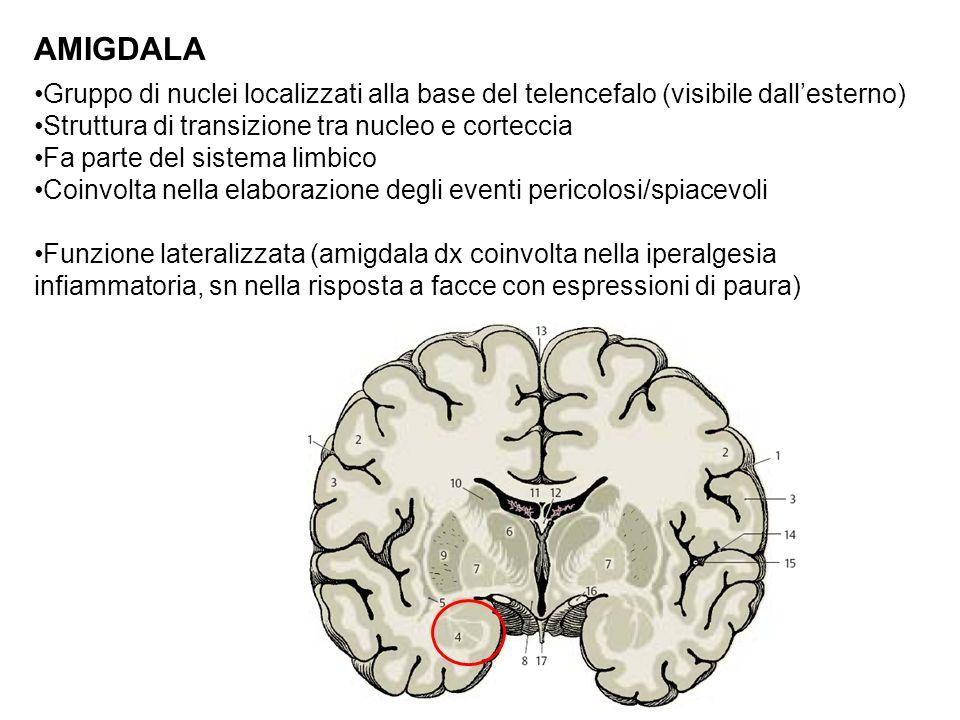 AMIGDALA Gruppo di nuclei localizzati alla base del telencefalo (visibile dallesterno) Struttura di transizione tra nucleo e corteccia Fa parte del si