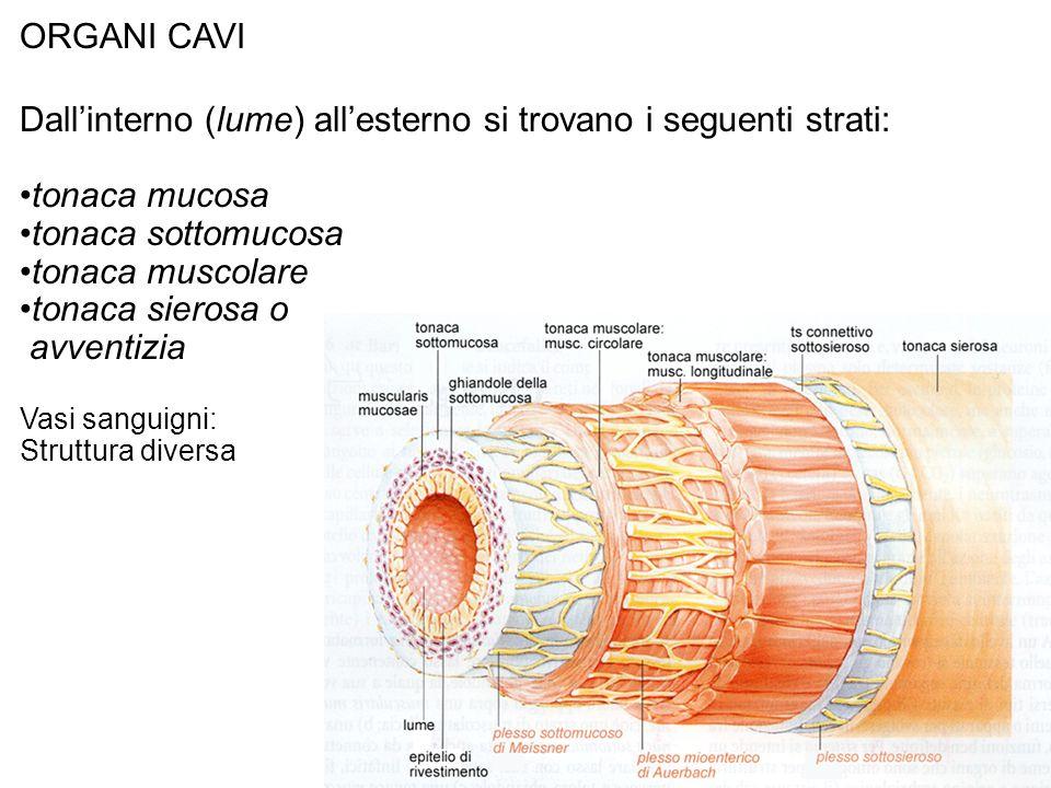 ORGANI CAVI Dallinterno (lume) allesterno si trovano i seguenti strati: tonaca mucosa tonaca sottomucosa tonaca muscolare tonaca sierosa o avventizia