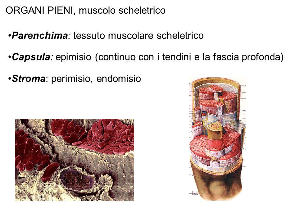 ORGANI PIENI, muscolo scheletrico Parenchima: tessuto muscolare scheletrico Capsula: epimisio (continuo con i tendini e la fascia profonda) Stroma: pe