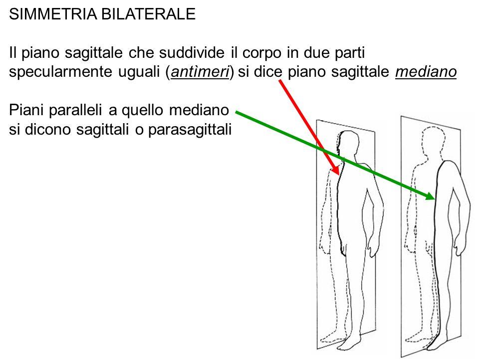 SIMMETRIA BILATERALE Il piano sagittale che suddivide il corpo in due parti specularmente uguali (antìmeri) si dice piano sagittale mediano Piani para