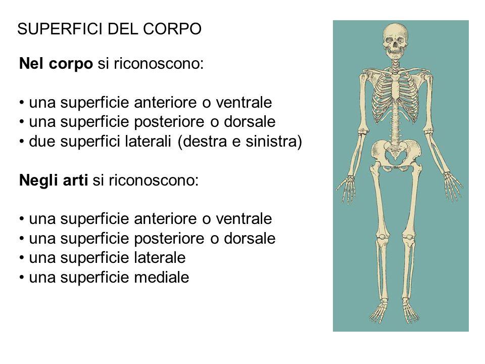 SUPERFICI DEL CORPO Nel corpo si riconoscono: una superficie anteriore o ventrale una superficie posteriore o dorsale due superfici laterali (destra e