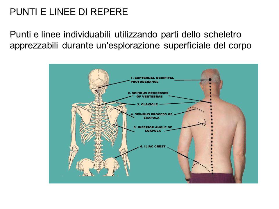 PUNTI E LINEE DI REPERE Punti e linee individuabili utilizzando parti dello scheletro apprezzabili durante un'esplorazione superficiale del corpo