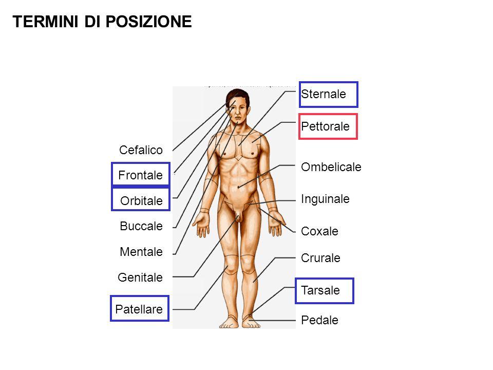 TERMINI DI POSIZIONE Sternale Pettorale Ombelicale Inguinale Coxale Crurale Tarsale Pedale Cefalico Frontale Orbitale Buccale Mentale Genitale Patella