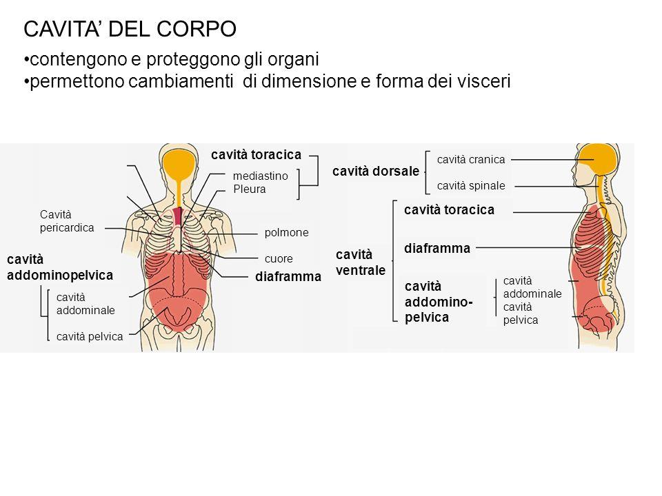 CAVITA DEL CORPO contengono e proteggono gli organi permettono cambiamenti di dimensione e forma dei visceri cavità ventrale cavità cranica cavità spi