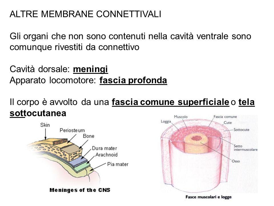 ALTRE MEMBRANE CONNETTIVALI Gli organi che non sono contenuti nella cavità ventrale sono comunque rivestiti da connettivo Cavità dorsale: meningi Appa