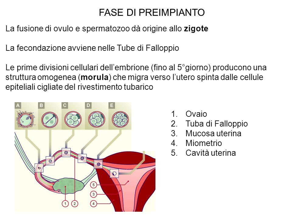 FASE DI PREIMPIANTO La fusione di ovulo e spermatozoo dà origine allo zigote La fecondazione avviene nelle Tube di Falloppio Le prime divisioni cellul