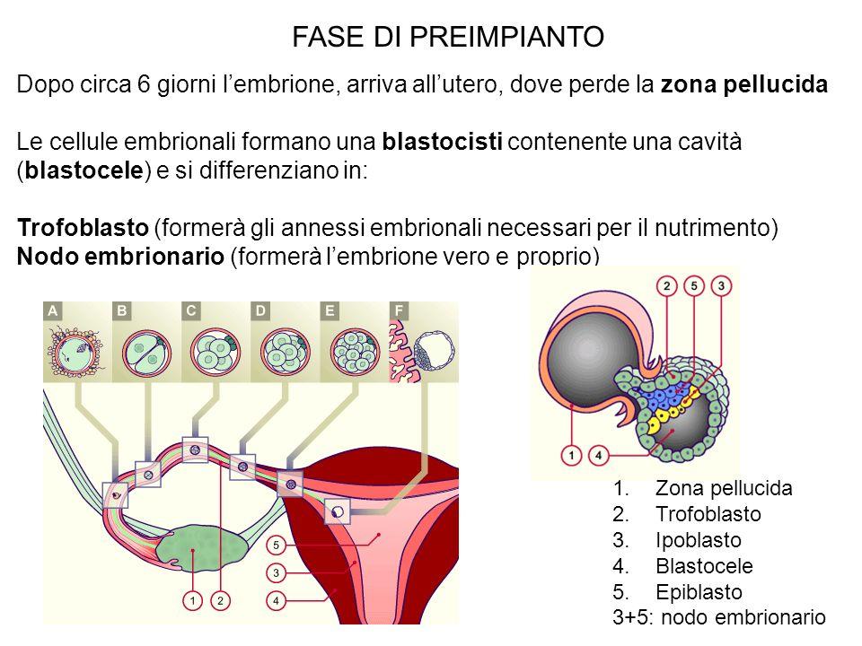 FASE DI PREIMPIANTO Dopo circa 6 giorni lembrione, arriva allutero, dove perde la zona pellucida Le cellule embrionali formano una blastocisti contene