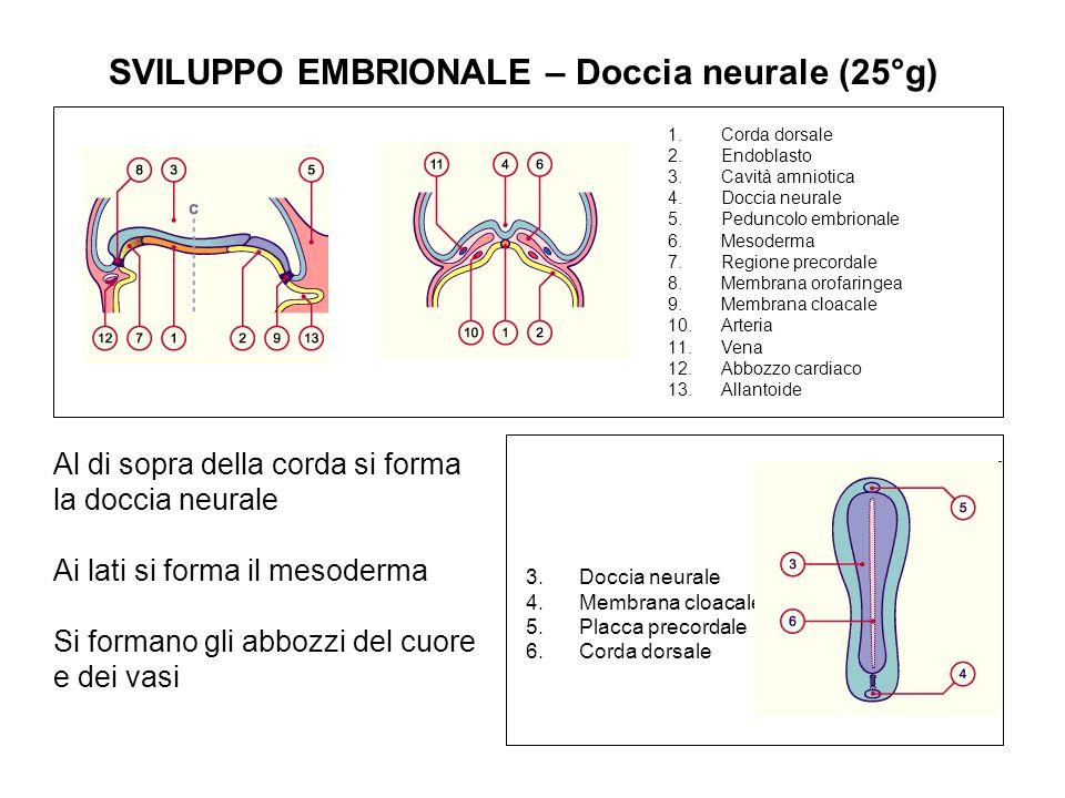 SVILUPPO EMBRIONALE – Doccia neurale (25°g) 1.Corda dorsale 2.Endoblasto 3.Cavità amniotica 4.Doccia neurale 5.Peduncolo embrionale 6.Mesoderma 7.Regi