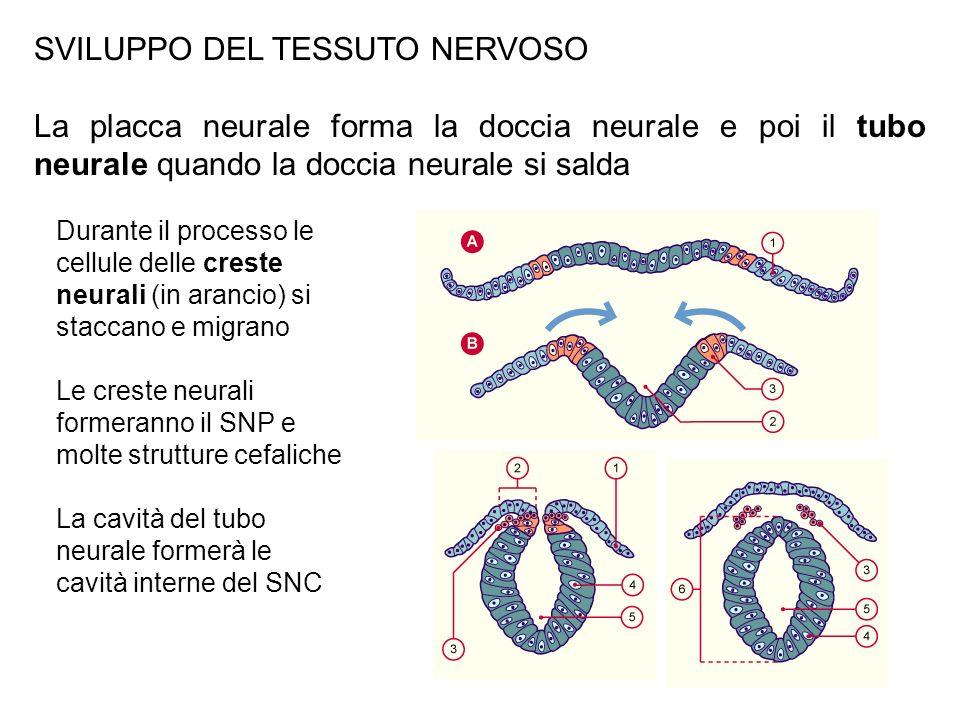 SVILUPPO DEL TESSUTO NERVOSO La placca neurale forma la doccia neurale e poi il tubo neurale quando la doccia neurale si salda Durante il processo le