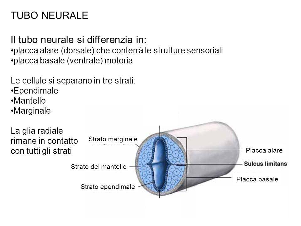 TUBO NEURALE Il tubo neurale si differenzia in: placca alare (dorsale) che conterrà le strutture sensoriali placca basale (ventrale) motoria Le cellul
