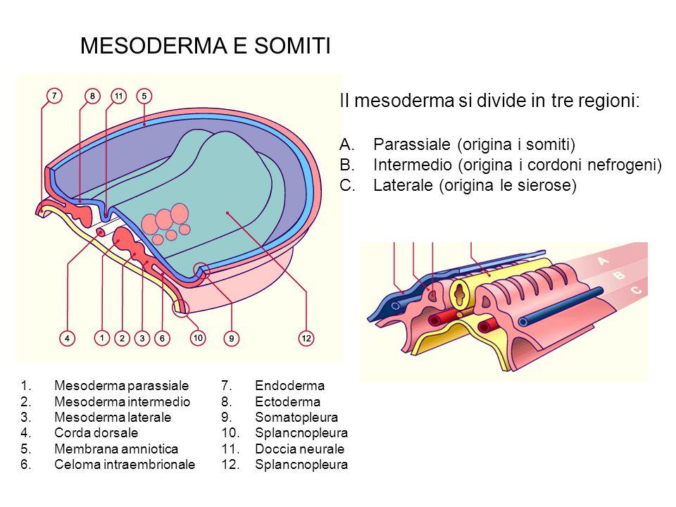 MESODERMA E SOMITI 1.Mesoderma parassiale 2.Mesoderma intermedio 3.Mesoderma laterale 4.Corda dorsale 5.Membrana amniotica 6.Celoma intraembrionale Il