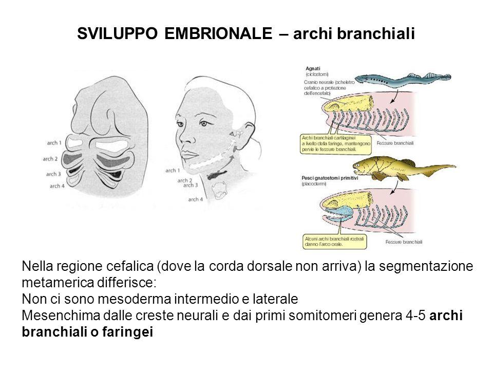 SVILUPPO EMBRIONALE – archi branchiali Nella regione cefalica (dove la corda dorsale non arriva) la segmentazione metamerica differisce: Non ci sono m