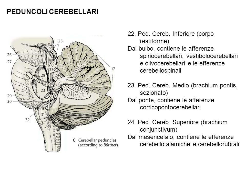 PEDUNCOLI CEREBELLARI 22. Ped. Cereb. Inferiore (corpo restiforme) Dal bulbo, contiene le afferenze spinocerebellari, vestibolocerebellari e olivocere