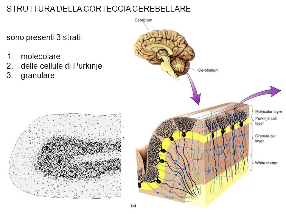 STRUTTURA DELLA CORTECCIA CEREBELLARE sono presenti 3 strati: 1.molecolare 2.delle cellule di Purkinje 3.granulare
