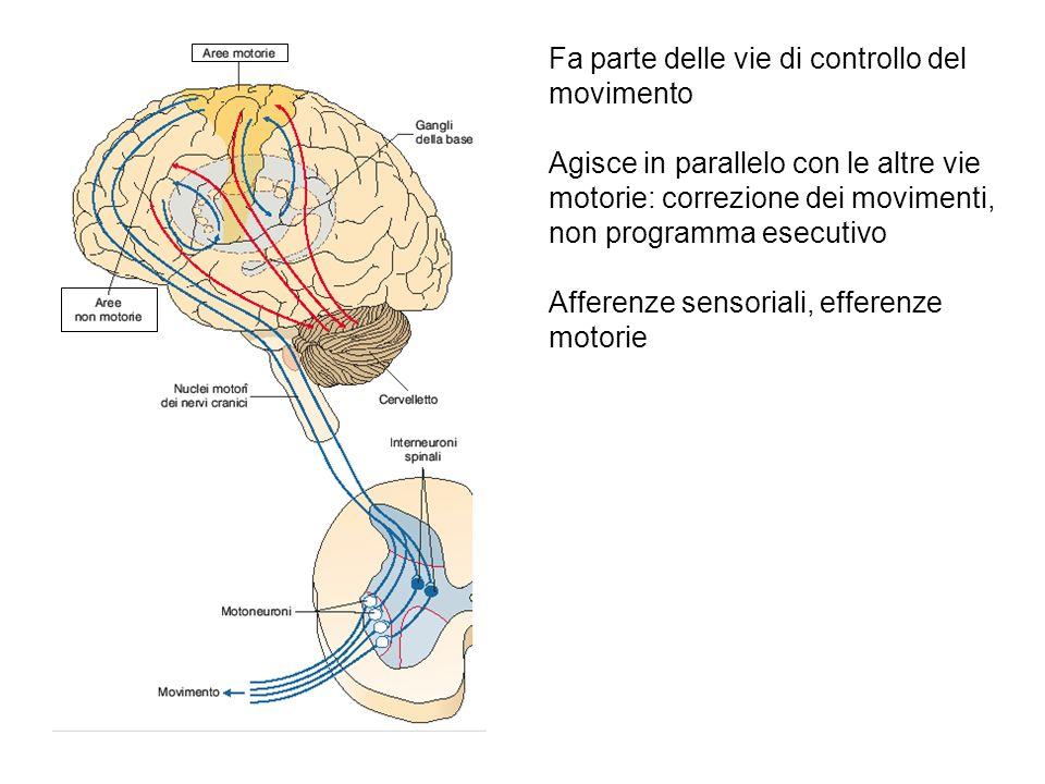 Fa parte delle vie di controllo del movimento Agisce in parallelo con le altre vie motorie: correzione dei movimenti, non programma esecutivo Afferenz