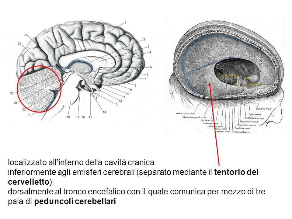 localizzato allinterno della cavità cranica inferiormente agli emisferi cerebrali (separato mediante il tentorio del cervelletto) dorsalmente al tronc