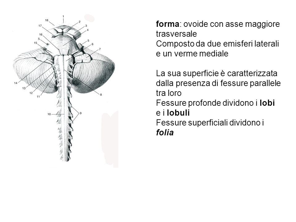 LOBI E LOBULI CEREBELLARI Gli schemi del cervelletto ne rappresentano la superficie appiattita Le zone in alto (lobo anteriore) e in basso (lobo flocculonodulare) sono in realtà anteriori I lobuli hanno spesso nomi diversi nel verme e negli emisferi
