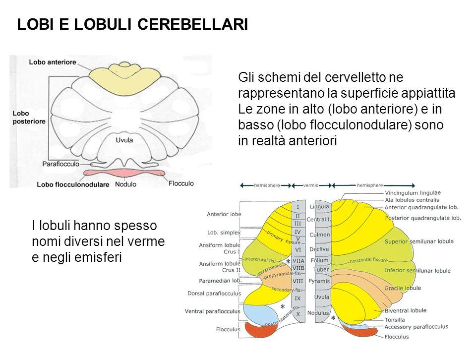 LOBI E LOBULI CEREBELLARI Gli schemi del cervelletto ne rappresentano la superficie appiattita Le zone in alto (lobo anteriore) e in basso (lobo flocc