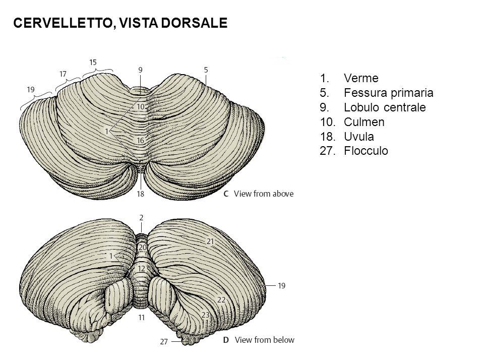 CERVELLETTO, VISTA DORSALE 1.Verme 5.Fessura primaria 9.Lobulo centrale 10.Culmen 18.Uvula 27.Flocculo