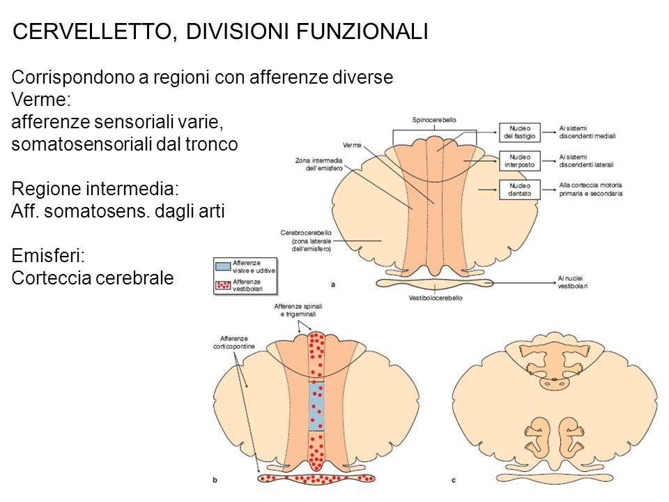 CERVELLETTO, DIVISIONI FUNZIONALI Corrispondono a regioni con afferenze diverse Verme: afferenze sensoriali varie, somatosensoriali dal tronco Regione