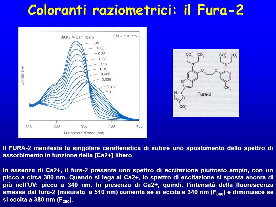 Coloranti raziometrici: il Fura-2 Il FURA-2 manifesta la singolare caratteristica di subire uno spostamento dello spettro di assorbimento in funzione