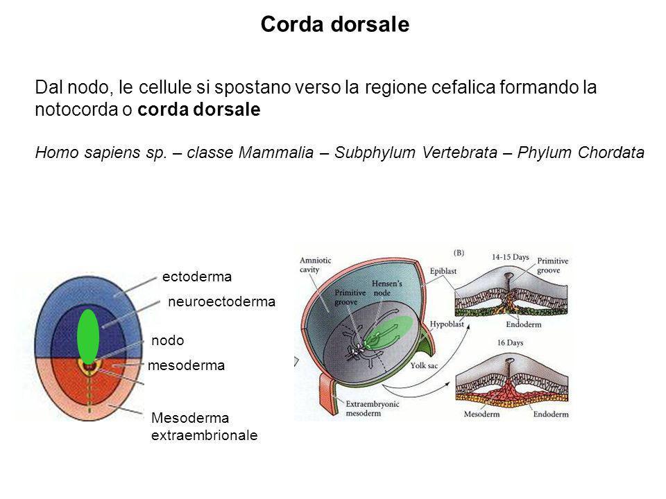 Dal nodo, le cellule si spostano verso la regione cefalica formando la notocorda o corda dorsale Homo sapiens sp. – classe Mammalia – Subphylum Verteb