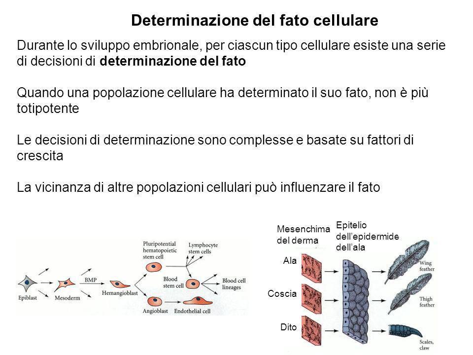 Durante lo sviluppo embrionale, per ciascun tipo cellulare esiste una serie di decisioni di determinazione del fato Quando una popolazione cellulare h