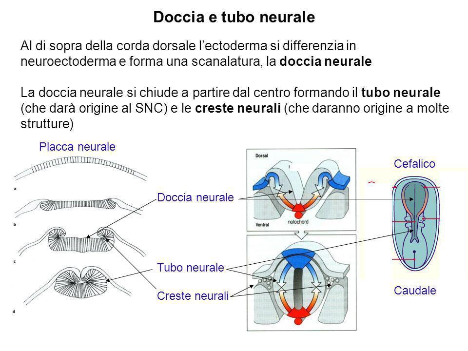 Cefalico Caudale Al di sopra della corda dorsale lectoderma si differenzia in neuroectoderma e forma una scanalatura, la doccia neurale La doccia neur