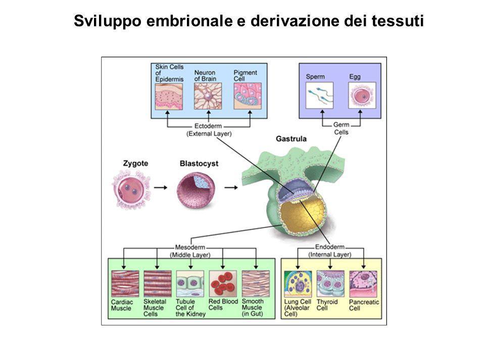 Sviluppo embrionale e derivazione dei tessuti