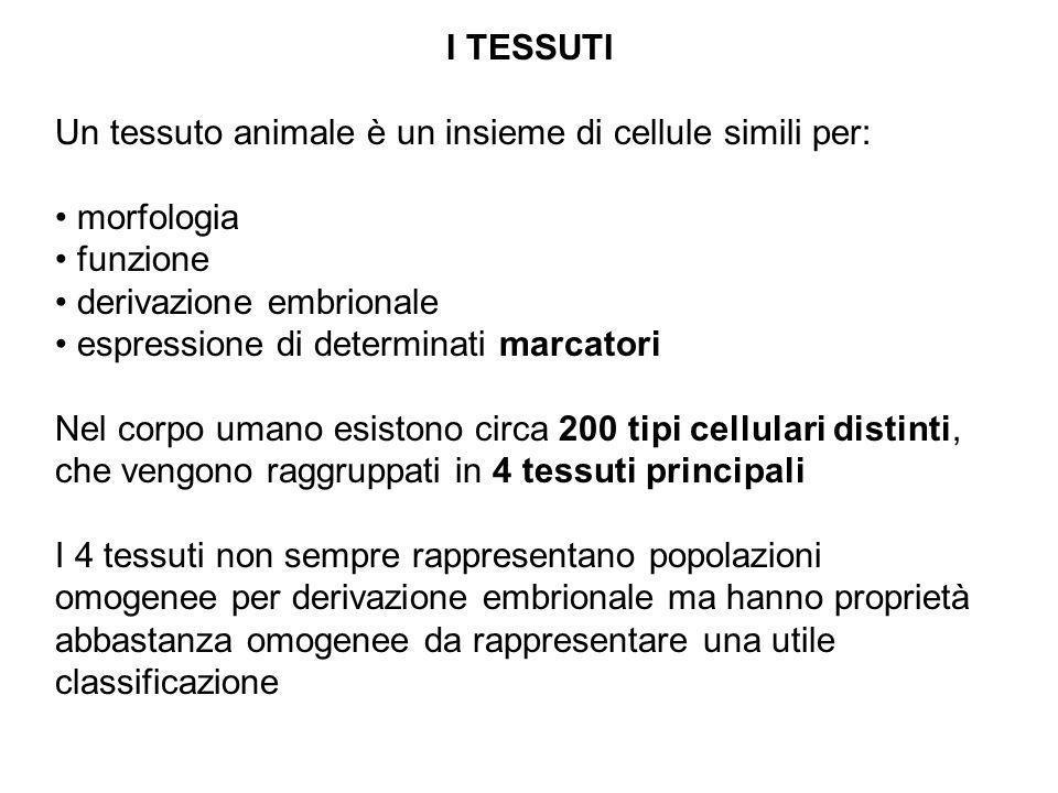 I TESSUTI Un tessuto animale è un insieme di cellule simili per: morfologia funzione derivazione embrionale espressione di determinati marcatori Nel c