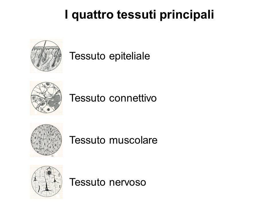 Tessuto epiteliale Tessuto connettivo Tessuto muscolare Tessuto nervoso I quattro tessuti principali