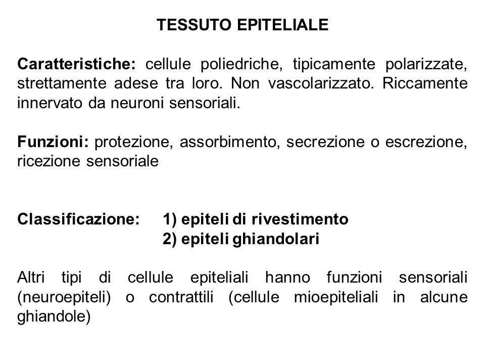 TESSUTO EPITELIALE Caratteristiche: cellule poliedriche, tipicamente polarizzate, strettamente adese tra loro. Non vascolarizzato. Riccamente innervat