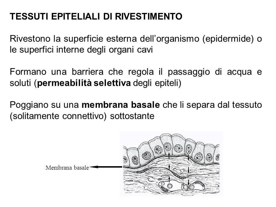 TESSUTI EPITELIALI DI RIVESTIMENTO Rivestono la superficie esterna dellorganismo (epidermide) o le superfici interne degli organi cavi Formano una bar