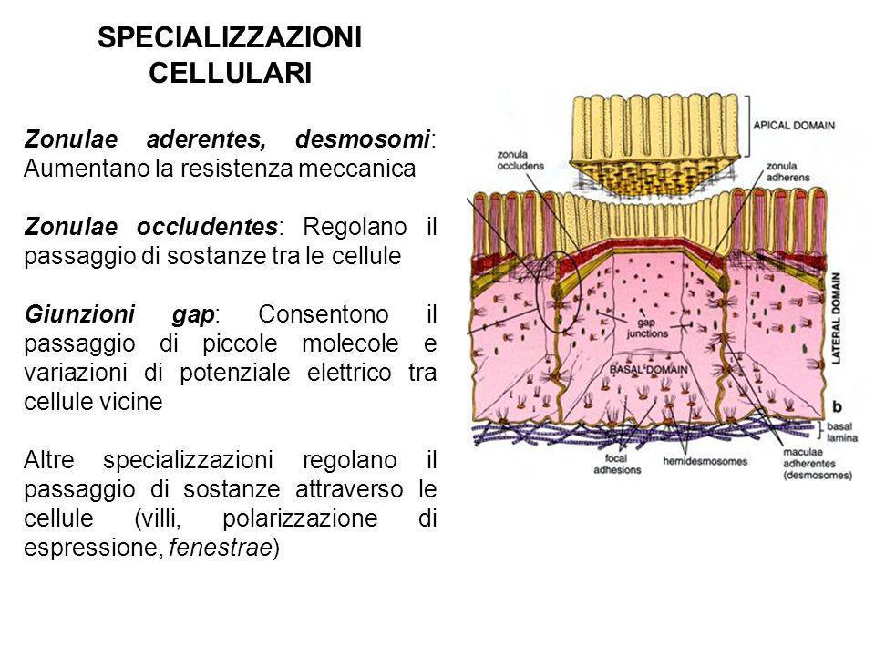 SPECIALIZZAZIONI CELLULARI Zonulae aderentes, desmosomi: Aumentano la resistenza meccanica Zonulae occludentes: Regolano il passaggio di sostanze tra