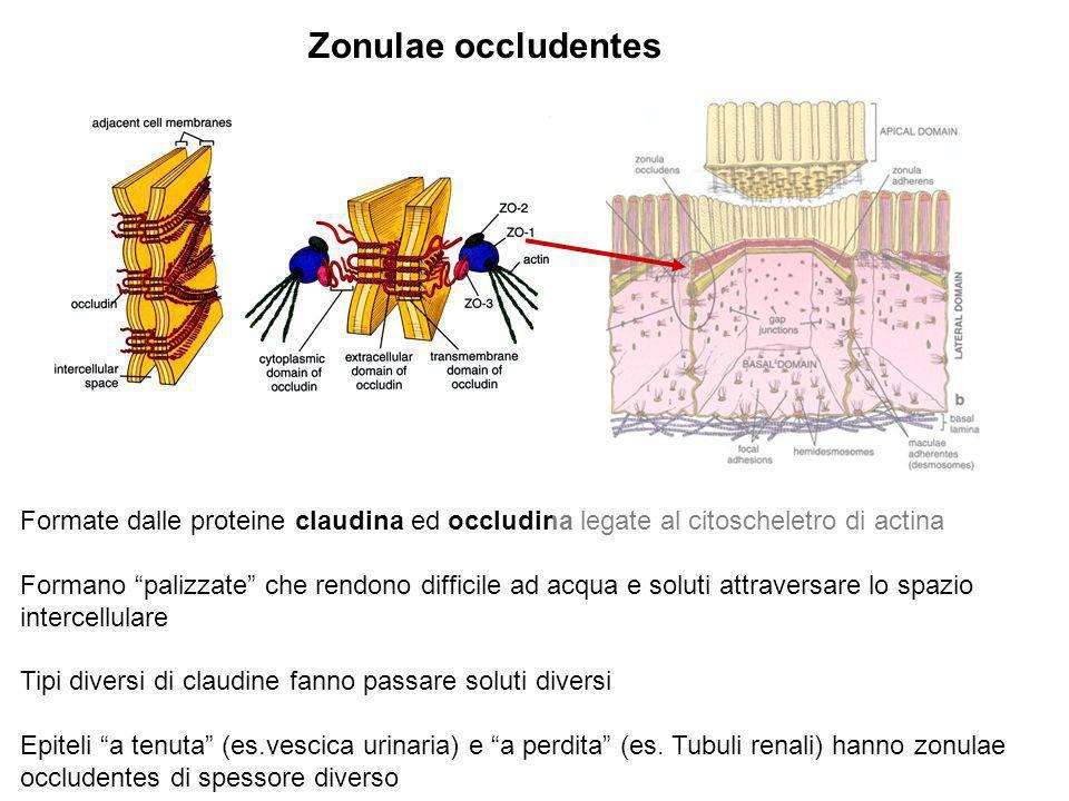 Zonulae occludentes Formate dalle proteine claudina ed occludina legate al citoscheletro di actina Formano palizzate che rendono difficile ad acqua e