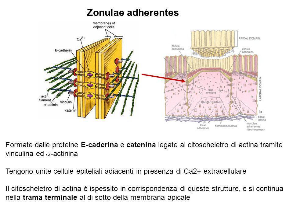 Zonulae adherentes Formate dalle proteine E-caderina e catenina legate al citoscheletro di actina tramite vinculina ed -actinina Tengono unite cellule