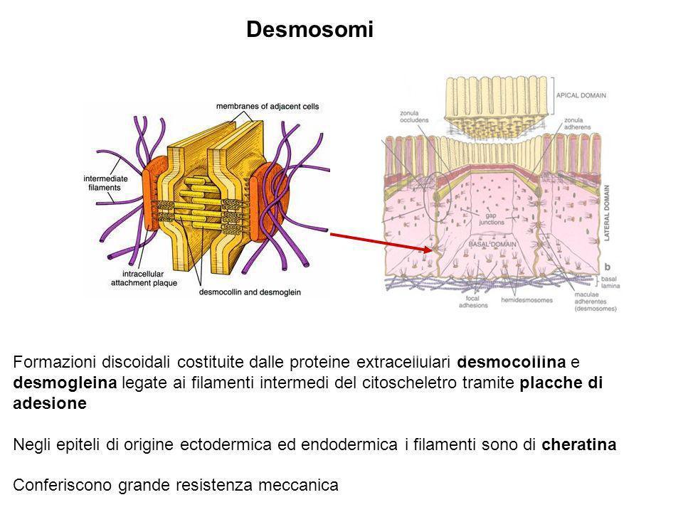 Desmosomi Formazioni discoidali costituite dalle proteine extracellulari desmocollina e desmogleina legate ai filamenti intermedi del citoscheletro tr