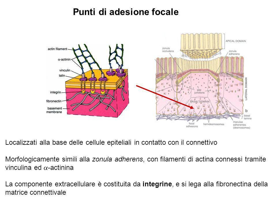 Punti di adesione focale Localizzati alla base delle cellule epiteliali in contatto con il connettivo Morfologicamente simili alla zonula adherens, co