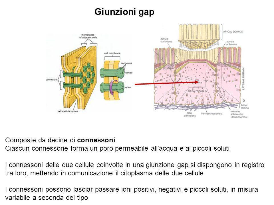 Giunzioni gap Composte da decine di connessoni Ciascun connessone forma un poro permeabile allacqua e ai piccoli soluti I connessoni delle due cellule