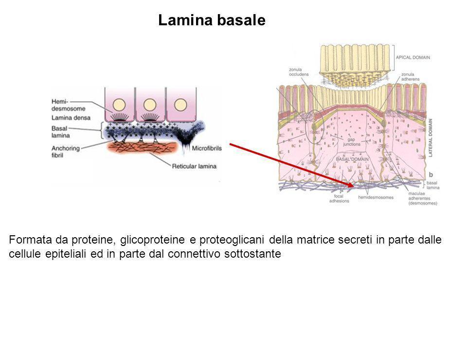 Lamina basale Formata da proteine, glicoproteine e proteoglicani della matrice secreti in parte dalle cellule epiteliali ed in parte dal connettivo so