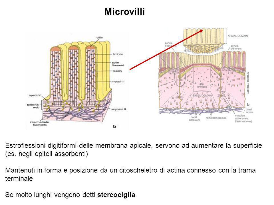 Microvilli Estroflessioni digitiformi delle membrana apicale, servono ad aumentare la superficie (es. negli epiteli assorbenti) Mantenuti in forma e p