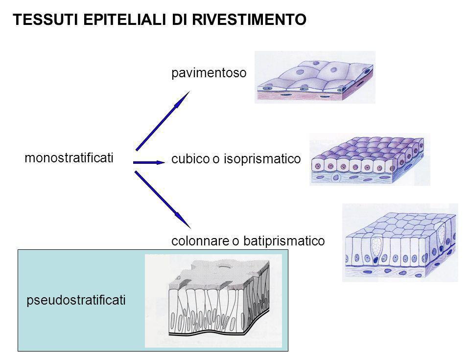 TESSUTI EPITELIALI DI RIVESTIMENTO monostratificati colonnare o batiprismatico cubico o isoprismatico pavimentoso pseudostratificati