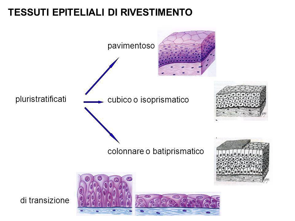 TESSUTI EPITELIALI DI RIVESTIMENTO pluristratificati colonnare o batiprismatico cubico o isoprismatico pavimentoso di transizione