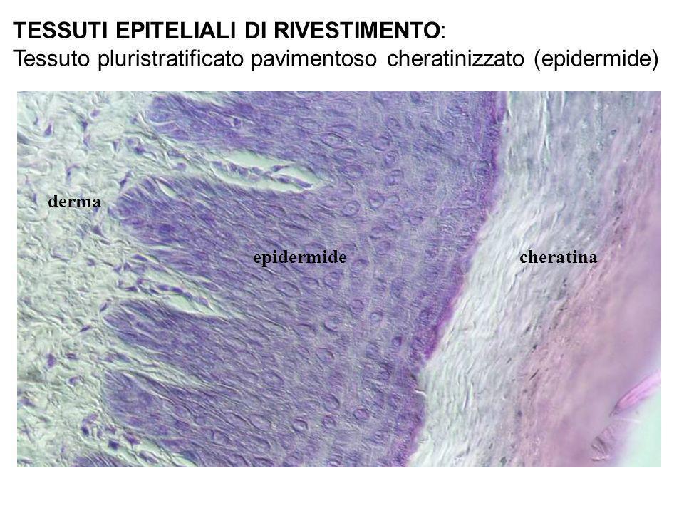 derma cheratinaepidermide TESSUTI EPITELIALI DI RIVESTIMENTO: Tessuto pluristratificato pavimentoso cheratinizzato (epidermide)