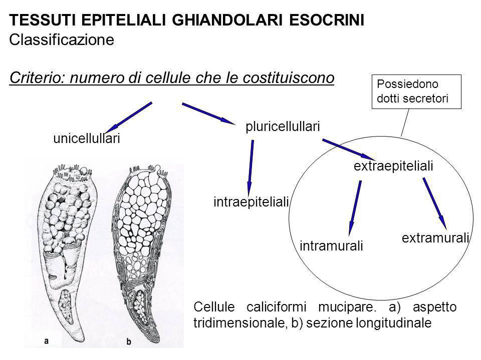 TESSUTI EPITELIALI GHIANDOLARI ESOCRINI Classificazione Criterio: numero di cellule che le costituiscono unicellullari pluricellullari Cellule calicif