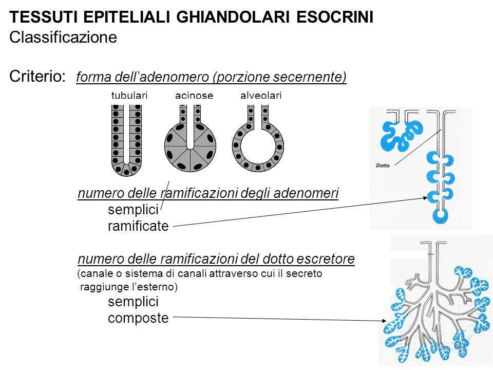 TESSUTI EPITELIALI GHIANDOLARI ESOCRINI Classificazione Criterio: forma delladenomero (porzione secernente) tubulari acinose alveolari numero delle ra
